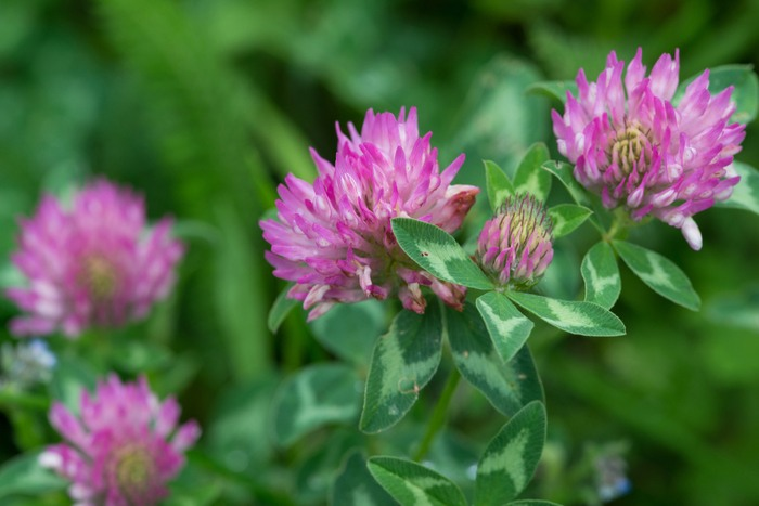 Does Red Clover Increase Breast Size