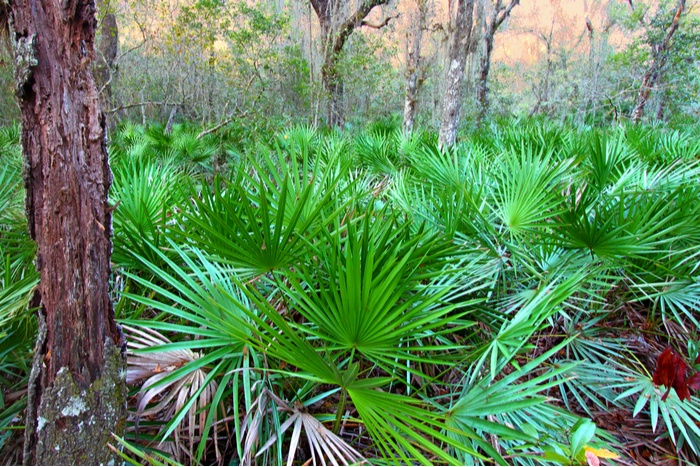Does Saw Palmetto Increase Breast Size
